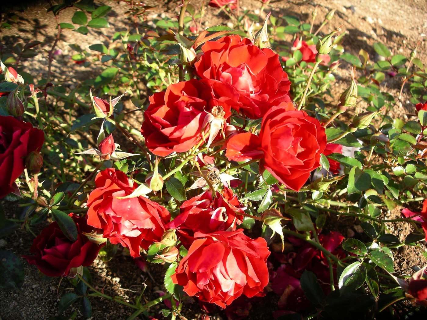 Rosa hybridus  cv. Austriana