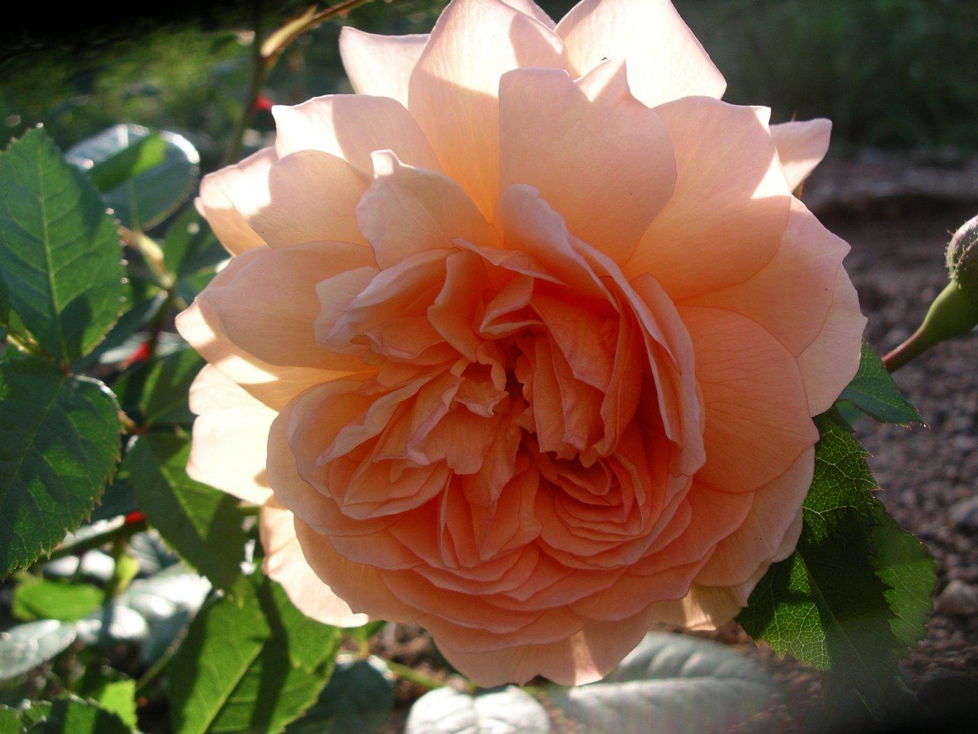 Rosa hybridus  cv. Grace