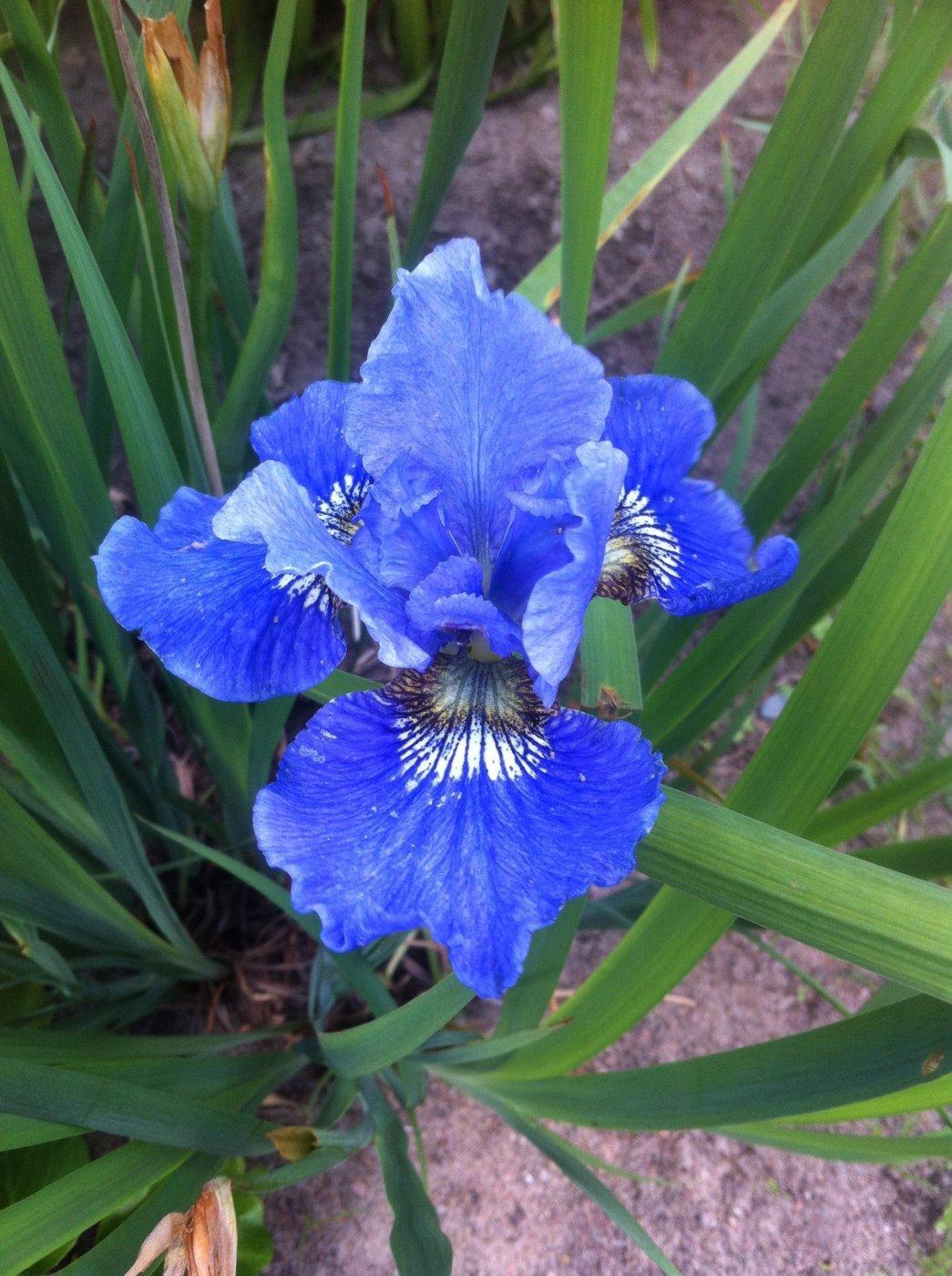 Iris sibirica  cv. Tanz nochmal