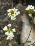Крупка седая Цветущий побег