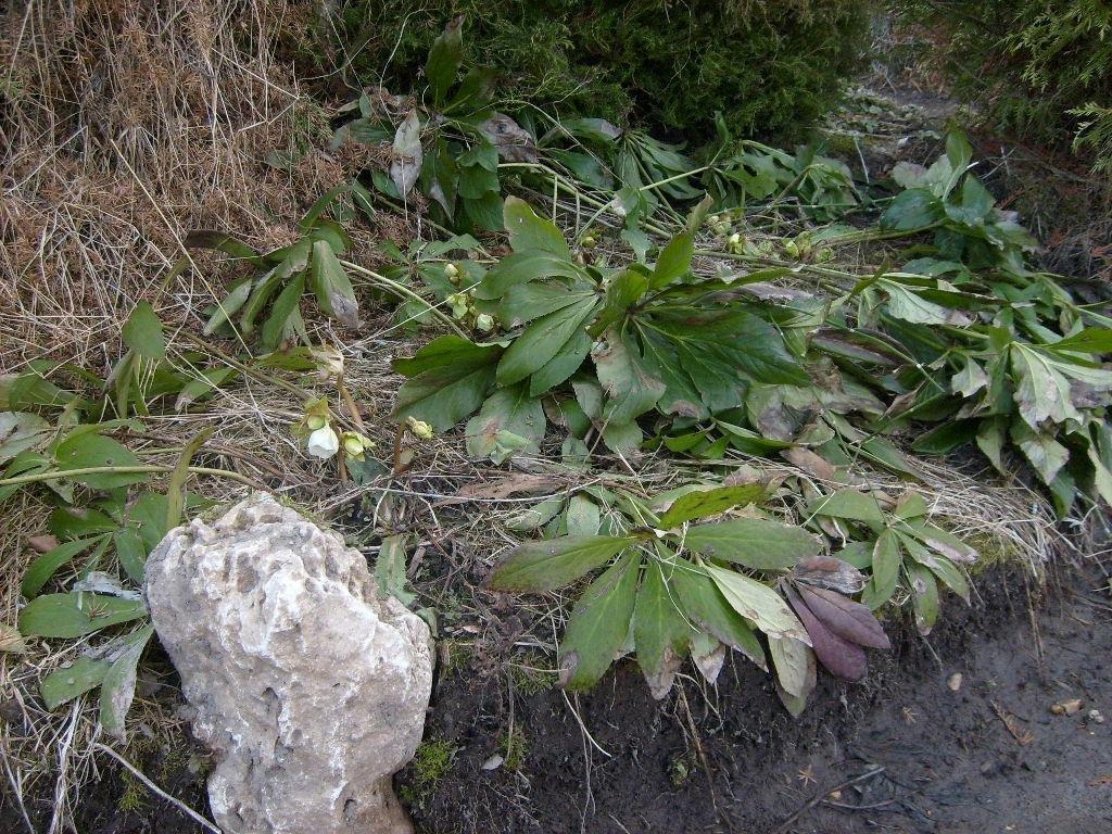 Helleborus caucasicus A. Br.