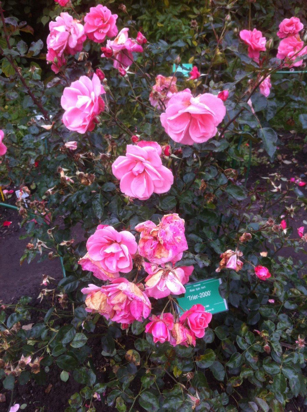 Rosa hybridis  cv. Trier-2000