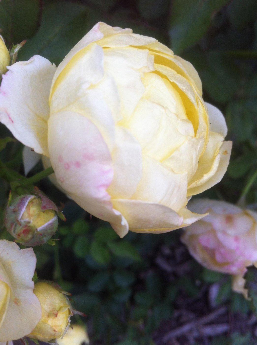 Rosa hybridis  cv. Golden border