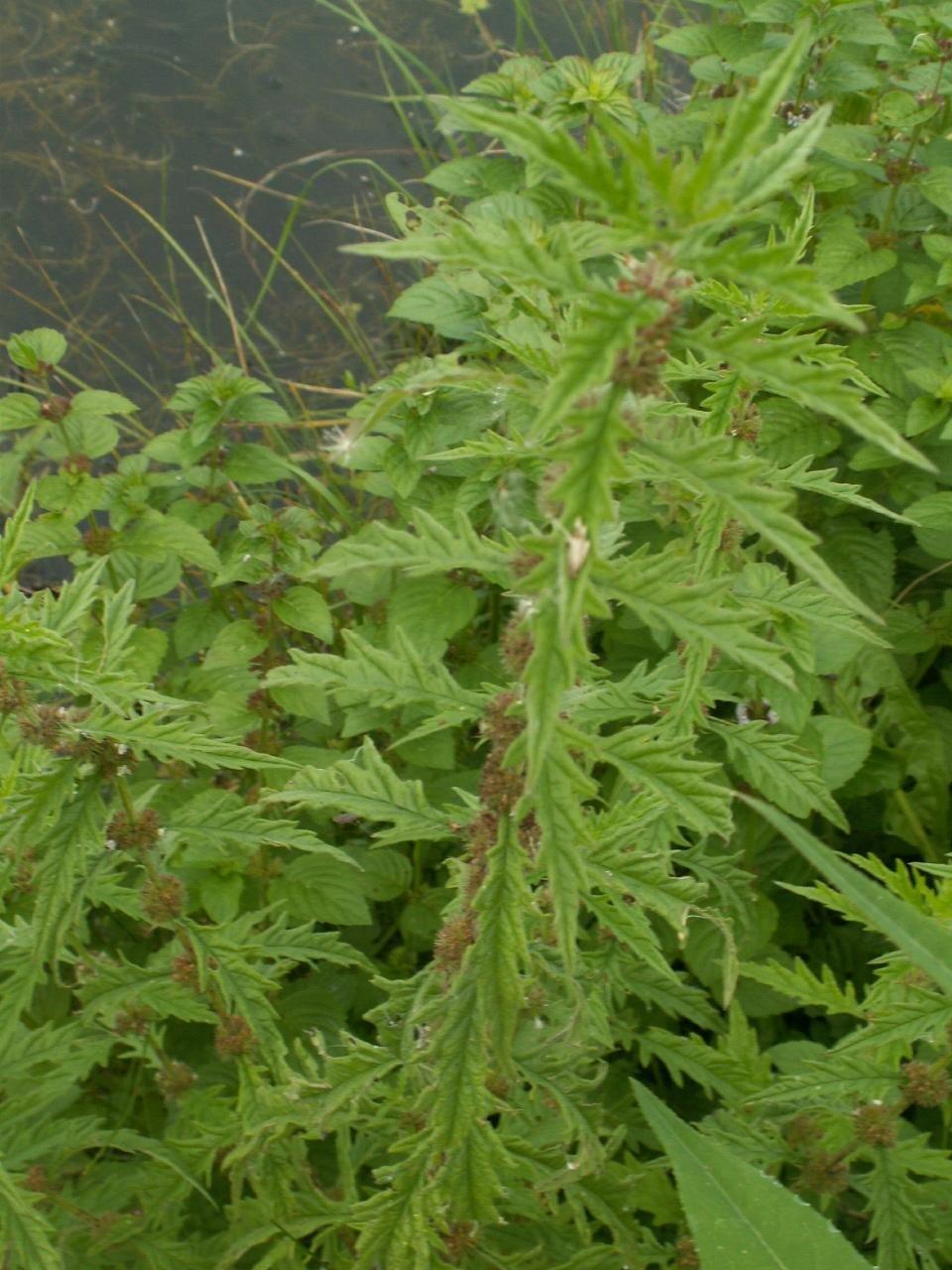 Lycopus exaltatus L. f.