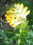 Хохлатка благородная Цветущий побег