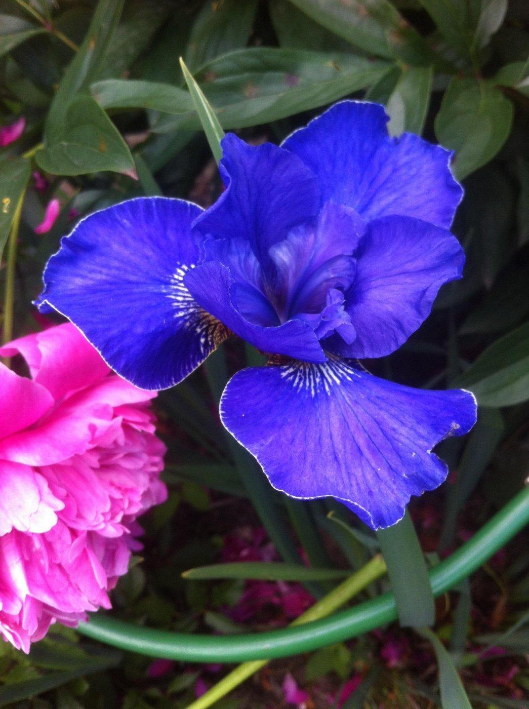 Iris sibirica  cv. High di