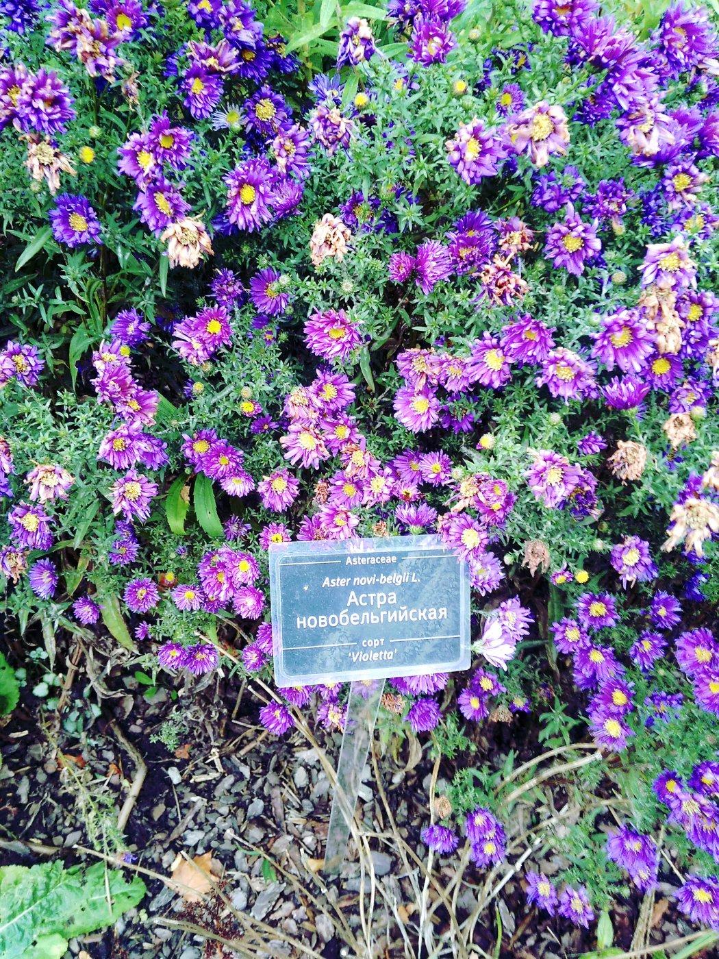 Aster novi-belgii  cv. Violetta