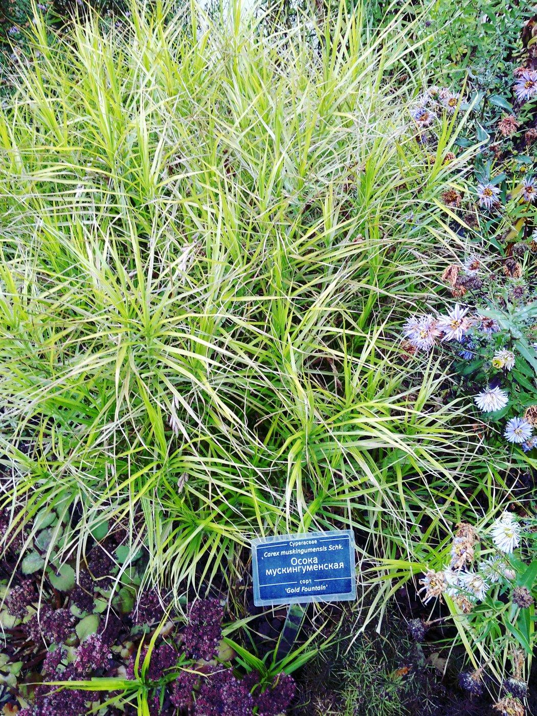 Carex muskingumensis  cv. Gold fountain