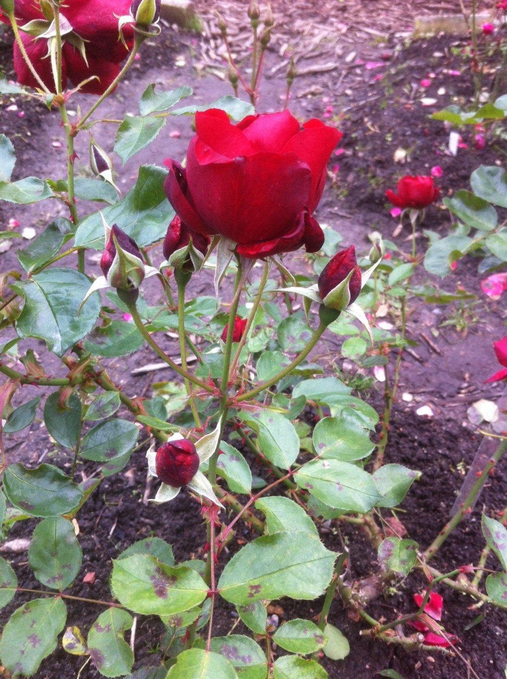 Rosa hybridis  cv. Andalusien