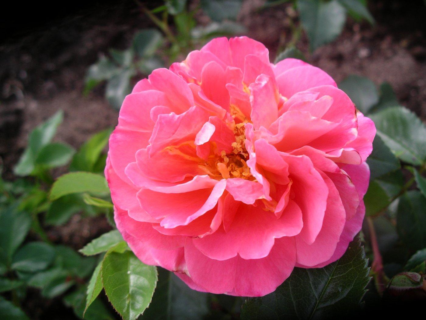 Rosa hybridus  cv. Souvenir de Lucien Massad
