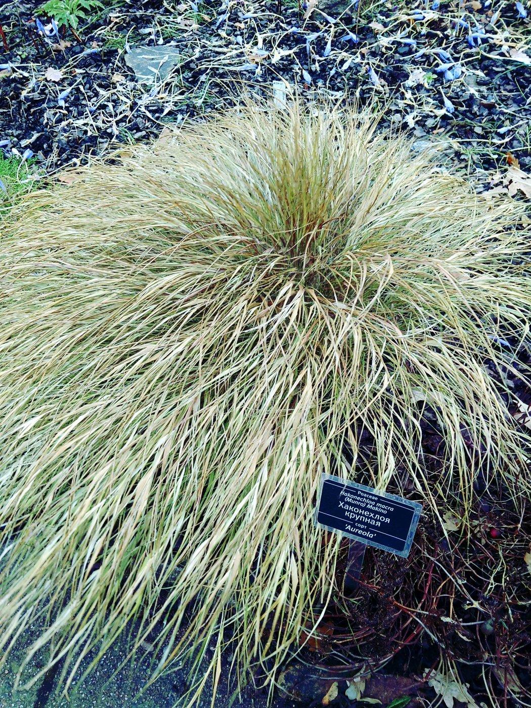 Hakonechloa macra (Munro) Makino cv. Aureola